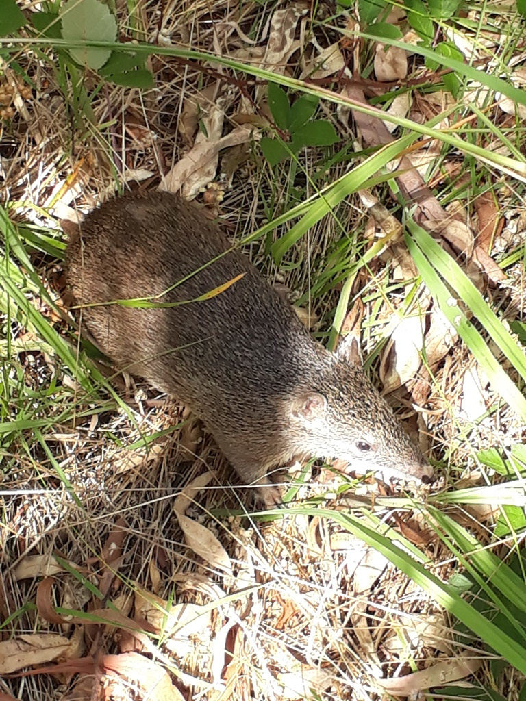 Bandicoot in BHC Recreation Park