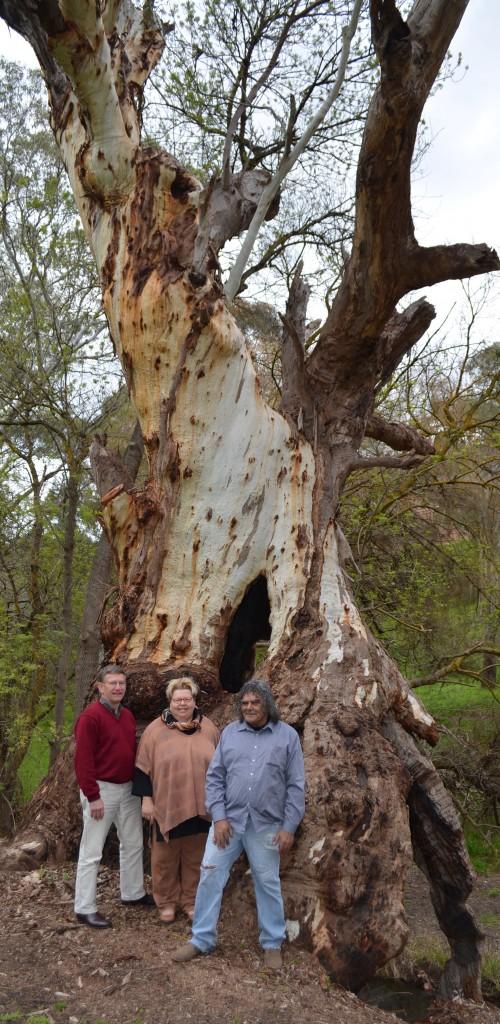 KAURNA SHELTER TREE